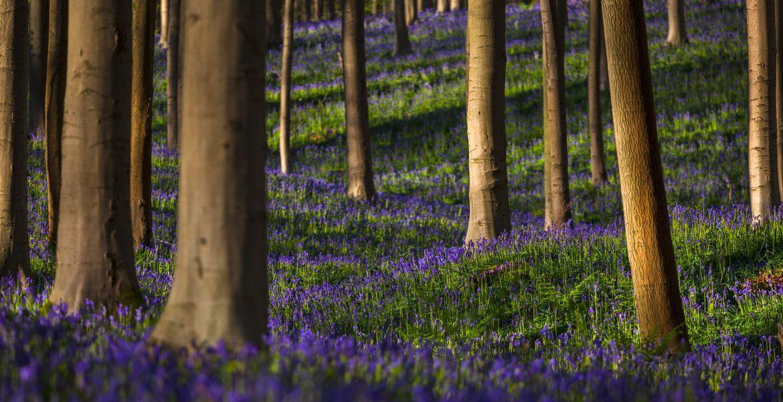 glenn vanderbeke, landscahpsfotografie, landschapsfotograaf, Halle, Hallerbos, wilde hyacinten, boshyacinten, fotografie hallerbos, foto uitstap, foto dagtrip, fotografische dagtrip