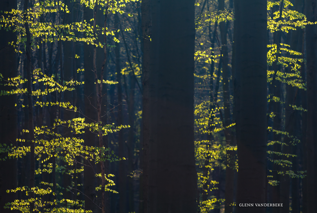 glenn vanderbeke, landscahpsfotografie, landschapsfotograaf, Halle, Hallerbos, wilde hyacinten, boshyacinten, fotografie hallerbos, foto uitstap, foto dagtrip, fotografische dagtrip, paarse bloemetjes fotograferen, boshyacinten locatie, boshyacinten fotograferen, wandelen tussen de boshyacinten, wandelen hallerbos, wandeling hallerbos