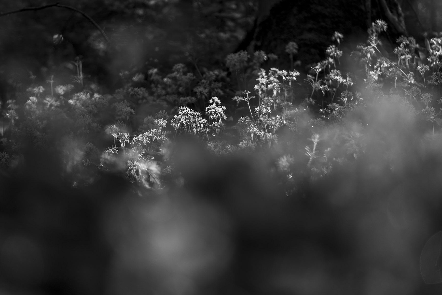 glenn vanderbeke, landschapsfotografie, landschapsfotograaf, foto uitstap, foto dagtrip, fotografische dagtrip, west-vlaamse fotografen, west-vlaamse fotograaf, Foto uitstap, Vlaanderen, Oost-Vlaanderen, waar daslook fotograferen?, daslook, daslook fotografie, Raspaillebos, daslook Raspaillebos, wilde hyacinten Raspaillebos, boshyacinten Raspaillebos