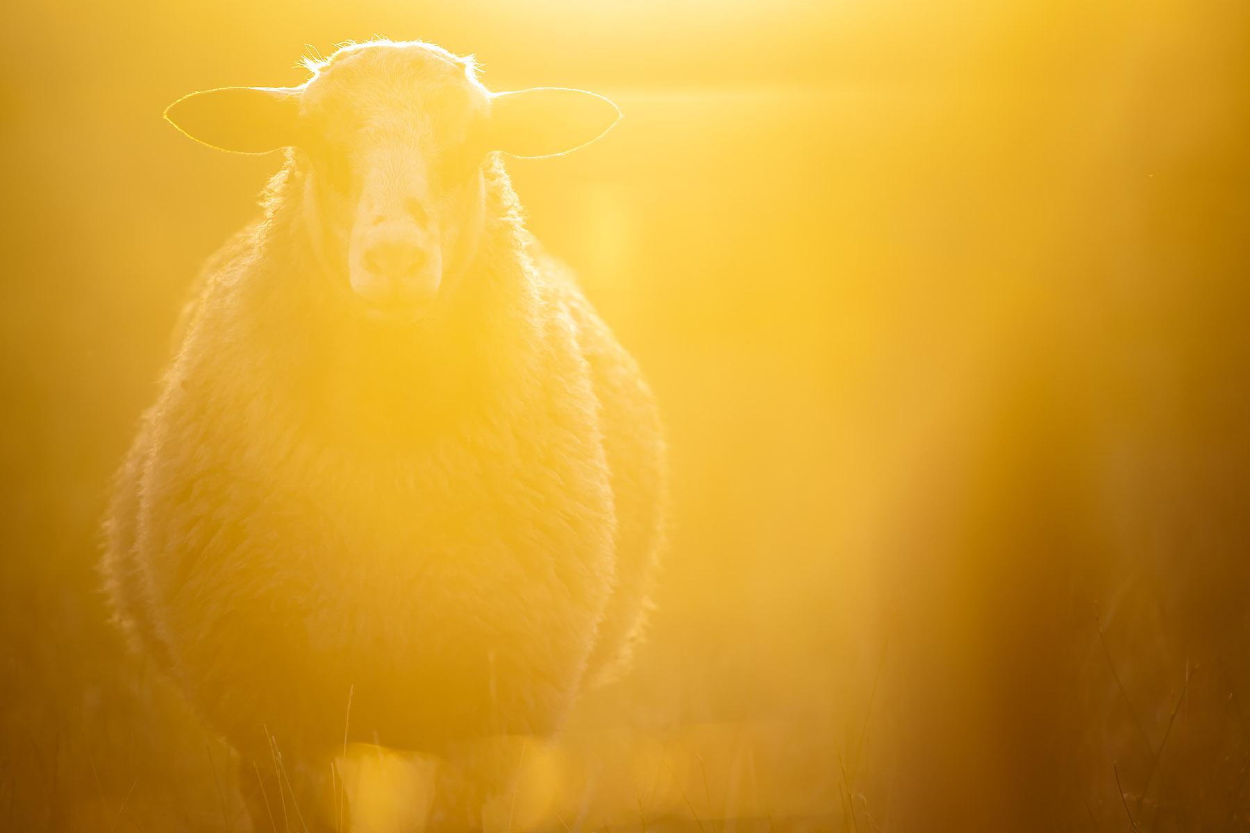 glenn vanderbeke, landschapsfotografie, landschapsfotograaf, foto uitstap, foto dagtrip, fotografische dagtrip, west-vlaamse fotografen, west-vlaamse fotograaf, Foto uitstap, Vlaanderen, West-Vlaanderen, Aartrijke, fotografie uitstap, fotogafie Aartrijke, fotograaf Aartrijke, Schapen in avondzon, schapen