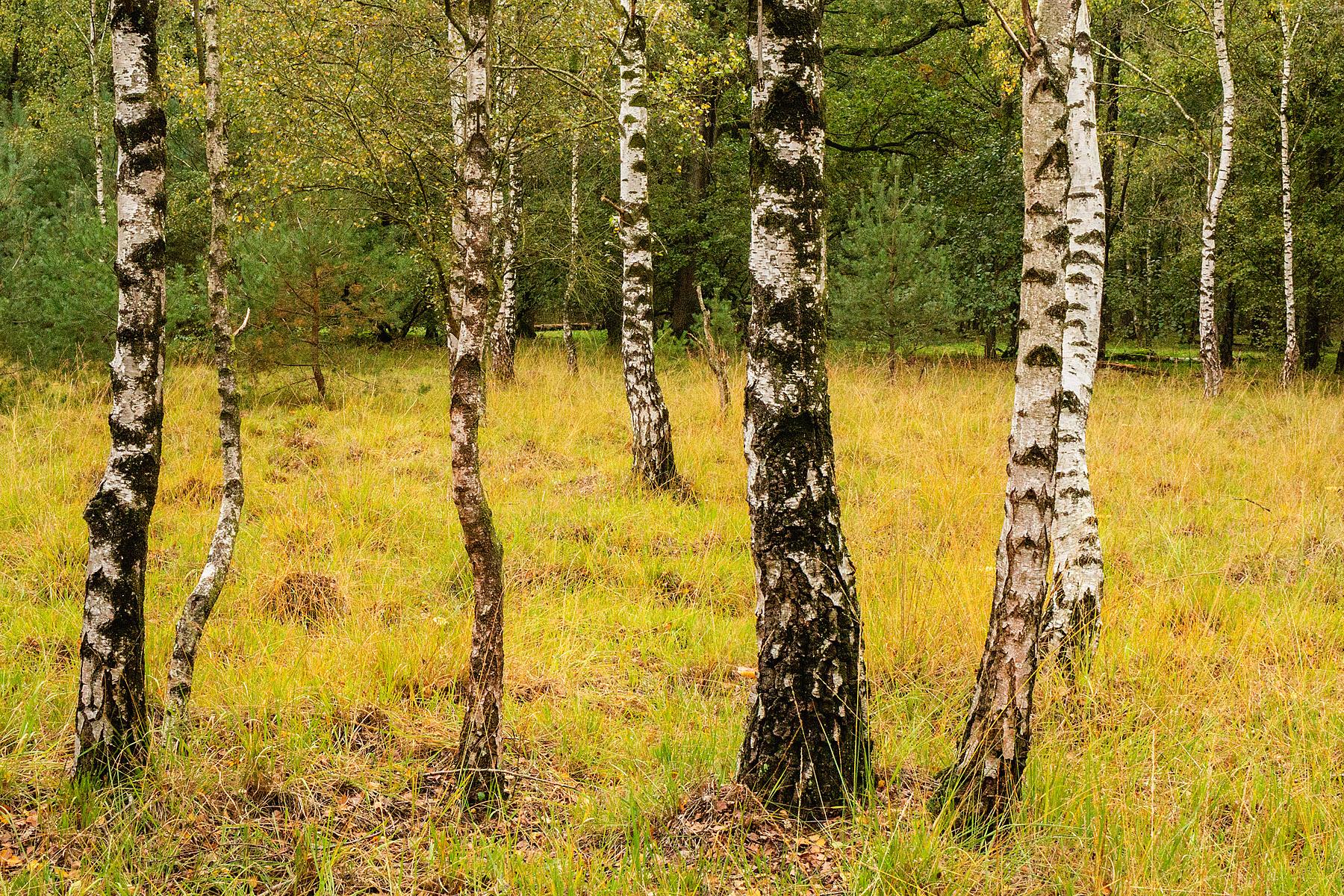 Berkenbos in De Plateaux in Valkenswaard (NL), West-Vlaamse landschapsfotograaf Glenn Vanderbeke
