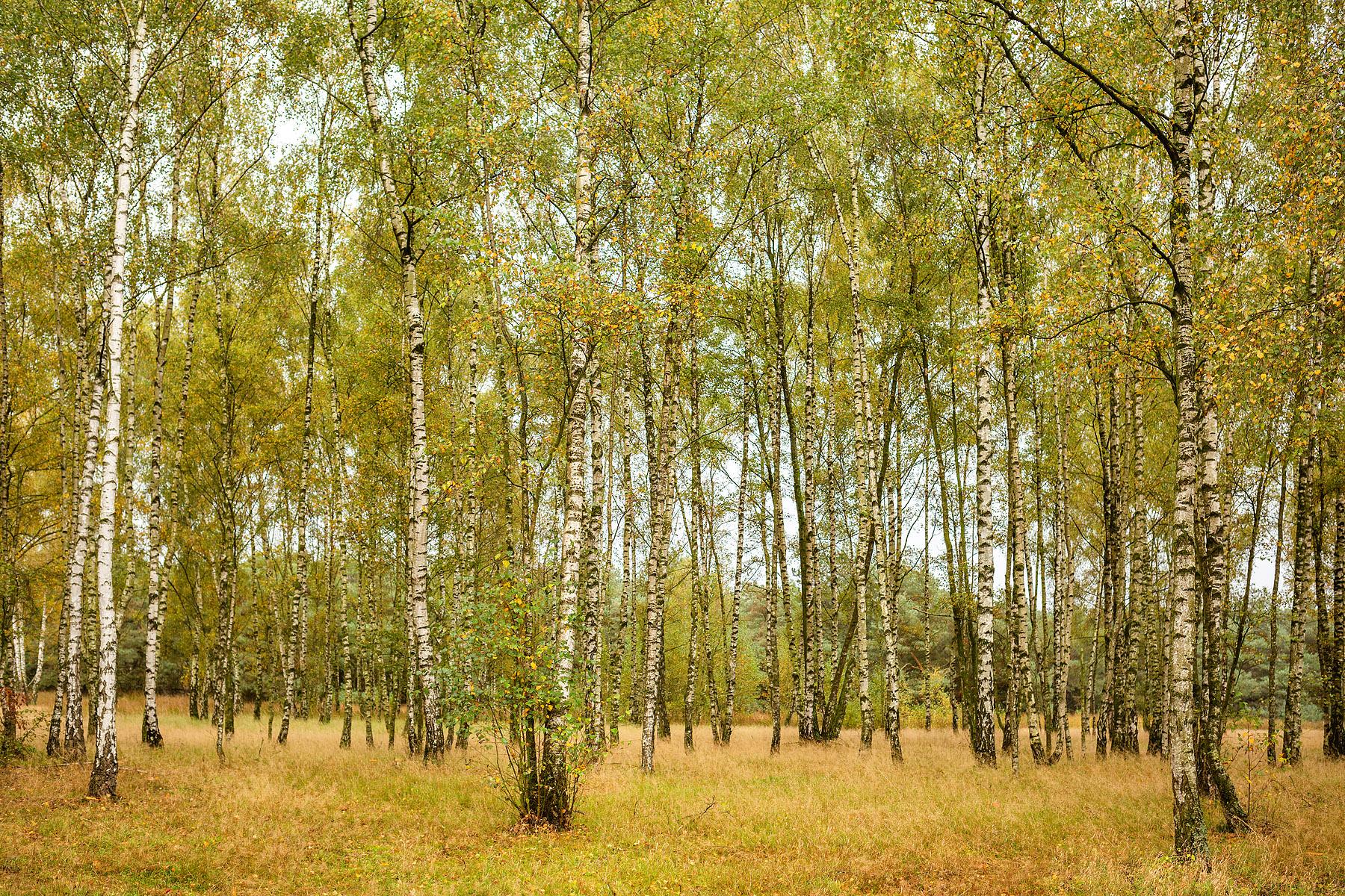 Berkenbos in Hageven in Pelt (Neerpelt), West-Vlaamse landschapsfotograaf Glenn Vanderbeke