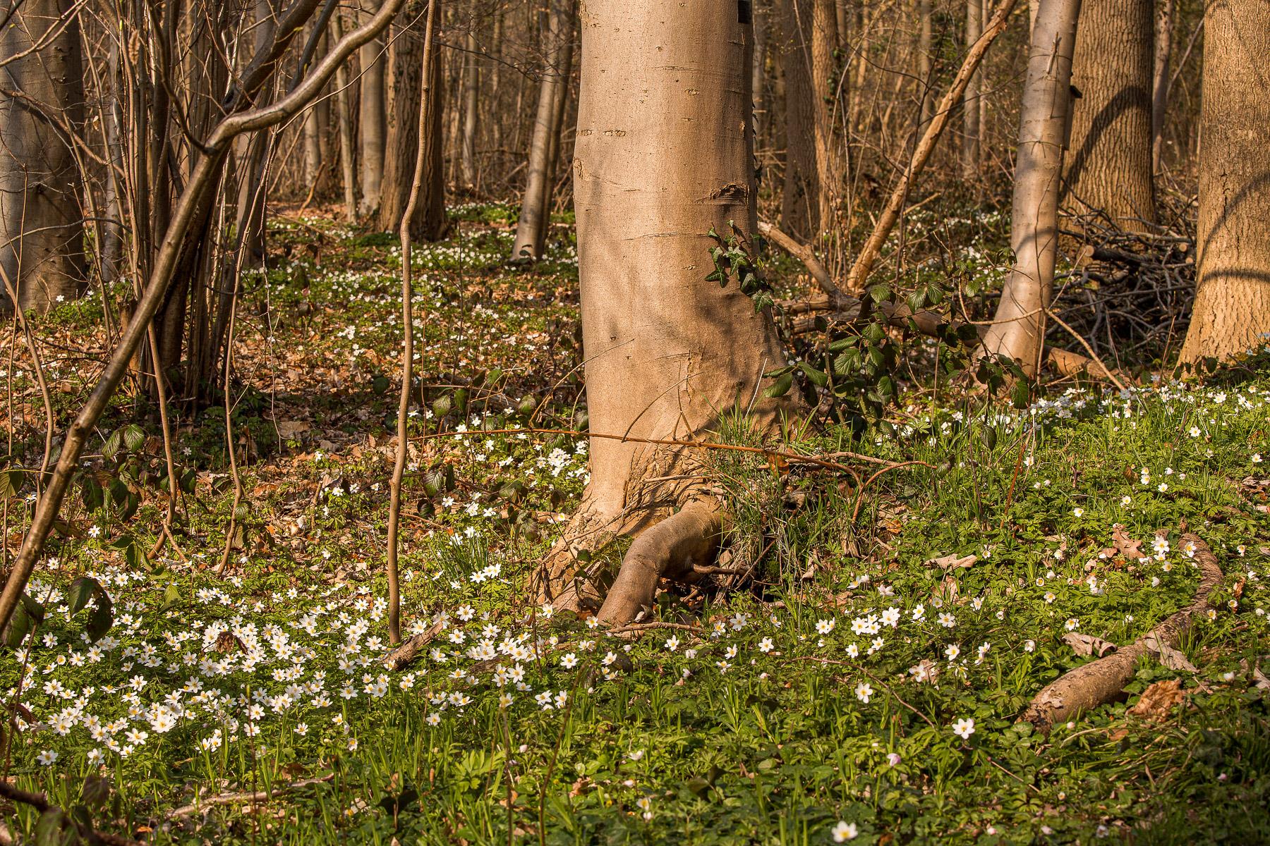 Bosanemonen in Oost-Vlaanderen, Bosanemonen in het Aelmoesneiebos, Bosanemonen fotograferen, bosanemonen oost-vlaanderen, bosanemoon oost-vlaanderen, bosanemonen locatie, bosanemoon locatie, waar bosanemonen fotograferen