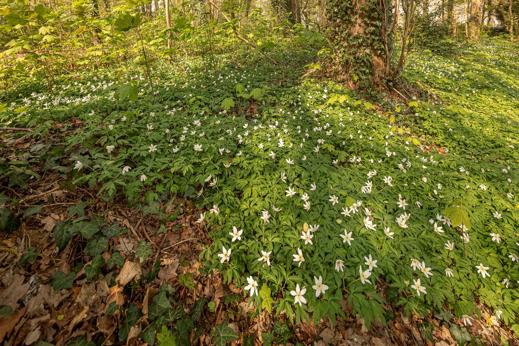 Bosanemonen in West-Vlaanderen, Bosanemonen in het park ter loo, Bosanemonen fotograferen, bosanemonen west-vlaanderen, bosanemoon west-vlaanderen, bosanemonen locatie, bosanemoon locatie, waar bosanemonen fotograferen
